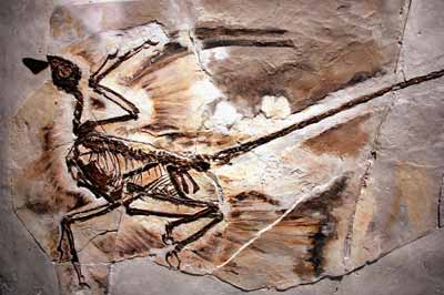 microraptor-fossil-1